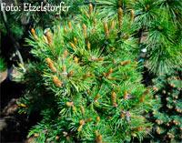 Pinus aristata 'Silver Heels'