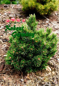 Pinus aristata 'Silver Love'