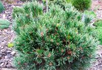 Pinus aristata 'Silver Shaker'