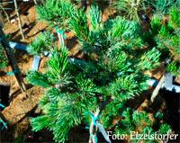 Pinus aristata 'Silver Wonder'