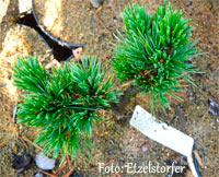 Pinus aristata 'Sonny Boy'