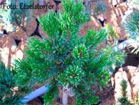 Pinus aristata 'Sunbeam'