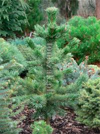 Pinus aristata 'Tlatla'