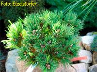 Pinus aristata 'WB SDL JM 2004'