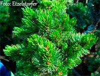 Pinus aristata 'Wildwood Nr143'