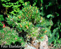 Pinus aristata 'Windy Ridge Nr2'
