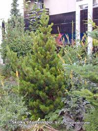 Pinus banksiana 'Banska Stiavnica'