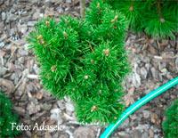 Pinus banksiana 'Bety'