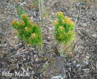 Pinus banksiana 'Kocourok'