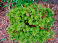 Pinus banksiana 'Manomet'