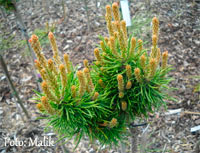 Pinus banksiana 'Martin Novak'