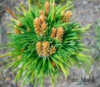 Pinus banksiana 'Mini Blato'