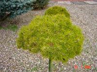 Pinus banksiana 'Nana'