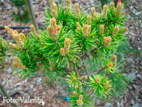 Pinus banksiana 'Neponset'