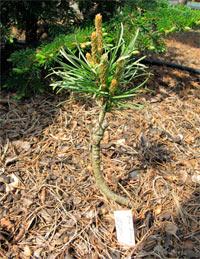 Pinus banksiana 'Novak'