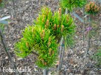 Pinus banksiana 'Pospisil'