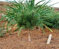 Pinus banksiana 'Schneverdingen'