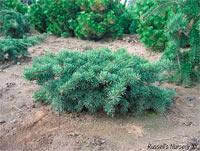 Pinus banksiana 'Schoodic'