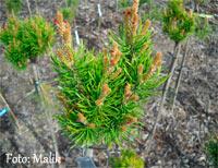 Pinus banksiana 'Skolka'