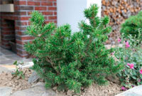 Pinus banksiana 'Tear Drop'