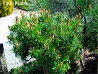 Pinus banksiana 'Welch'
