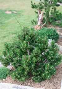 Pinus banksiana 'West Lake'