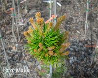Pinus banksiana 'Winnipeg'