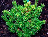 Pinus banksiana 'Wisconsin'