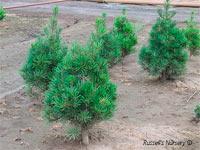 Pinus bungeana 'Compacta'