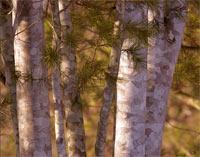 Pinus bungeana 'Ghost'