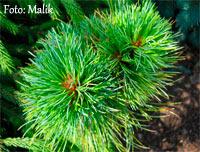 Pinus cembra 'Adige Nr2'