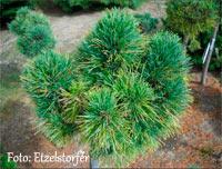 Pinus cembra 'Almrauschhutte'
