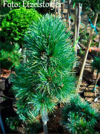 Pinus cembra 'Alter Hund'