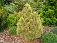 Pinus cembra 'Aurea'