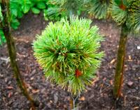 Pinus cembra 'Austrian Mountain'