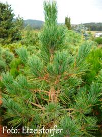 Pinus cembra 'Bambi'