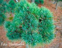 Pinus cembra 'Bambino'