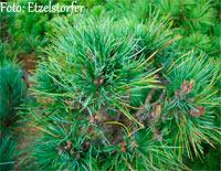 Pinus cembra 'Berggeist'