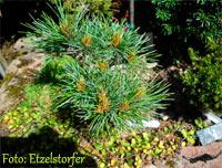 Pinus cembra 'Berggeist Nr1'