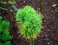 Pinus cembra 'Berghexe'