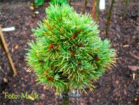 Pinus cembra 'Bergkonig'