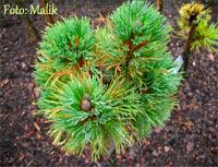 Pinus cembra 'Bergkonigin'