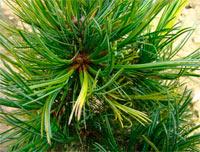Pinus cembra 'Bergzauber'