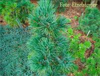 Pinus cembra 'Canzei'