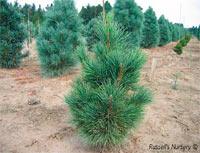 Pinus cembra 'Chamolet'