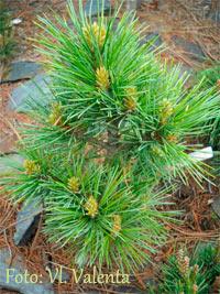 Pinus cembra 'Clejson'