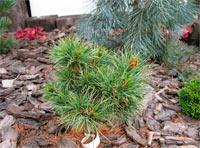 Pinus cembra 'David'