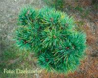 Pinus cembra 'Diamant'