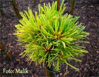 Pinus cembra 'Dolomiten'