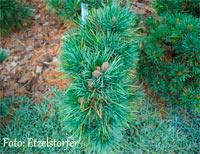 Pinus cembra 'Dominikhutte'